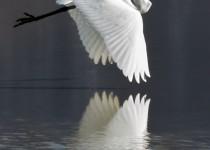 white_heron_color_8x12