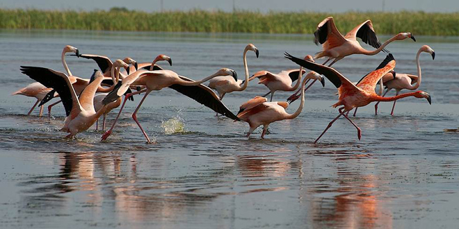American Flamingos take wing at Stormwater Treatment Area 2 in Florida in May 2014. Photo courtesy South Florida Water Management District