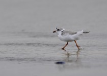 2015-03-17-piping-plover