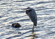 8347_GreatBlueHeron_2-12-15