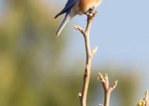 9935_EasternBluebird_3-15-15_lg