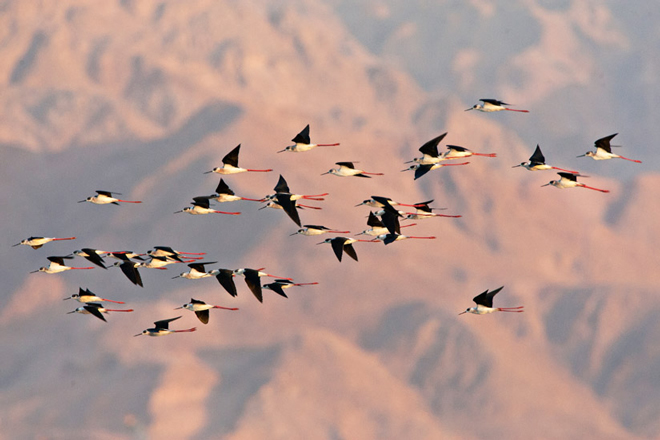 Black-winged Stilts migrate in spring 2014 in Eilat, Israel. Photo by Marc Guyt
