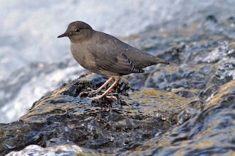 American Dipper in Le Hardy Rapids, Yellowstone River, Yellowstone National Park by sfisher.