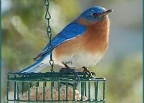 Bluebird-at-suet