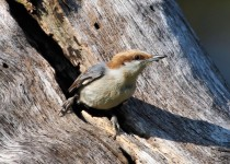 Brown-headed-Nuthatch2