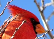 Cardinal-2015