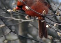 Cardinal002