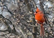 Cardinal003
