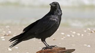 Fish_Crow_2