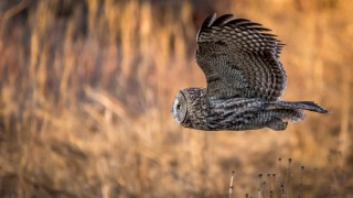 Great Gray Owl ©2015 Monika Petersen