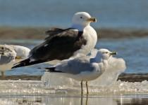 Great_Black-backed_Gull