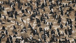 A large colony of Imperial Shags, Beagle Channel, Tierra del Fuego (Wikimedia Commons).