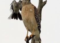 Mockingbird_Hawk