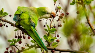 Monk Parakeet ©2009 Owen Deutsch