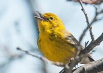 Pine Warbler Spring Song