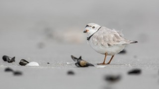 Piping Plover at Barnegat Light, New Jersey, March 21, 2015, by Harry Collins.