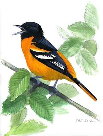 Baltimore Oriole produces a rich, clear whistle. Triangulation will help determine how far away the bird is. Tilting your head will fix the height of its favorite perch. Art by David Sibley.