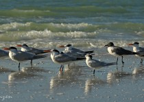 Terns_and_Gull