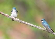 Tree-Swallows-2