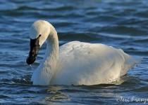 Tundra_Swan_1