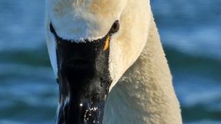 Tundra_Swan_2