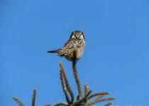 Y2-D034-Northern-Hawk-Owl-2