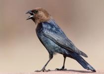 Brown-headed Cowbird photo by