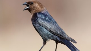 Brown-headed Cowbird photo by
