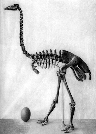 Elephant bird Aepyornis maximus skeleton and egg. Quaternary of Madagascar by Monnier, 1913.
