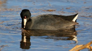 American_Coot