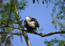 Bald-Eagle_1648_cw-1