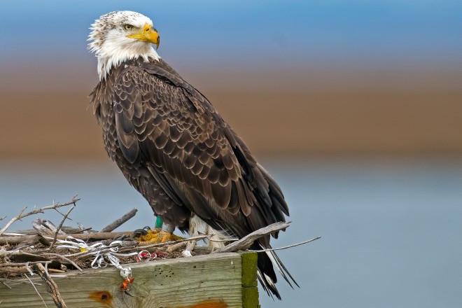 Bald Eagle at Forsythe NWR, New Jersey, by Brian Kushner.