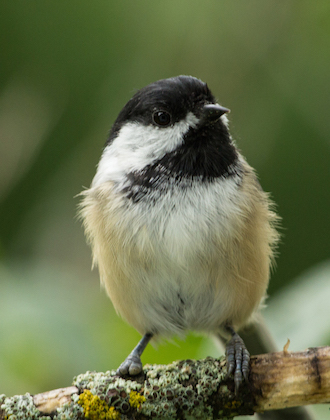 Missing toes on the right foot make this Black-capped Chickadee easy to distinguish. Photo by Laura Erickson.