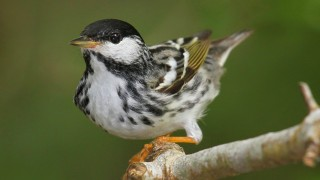 Blackpoll-Warbler-2