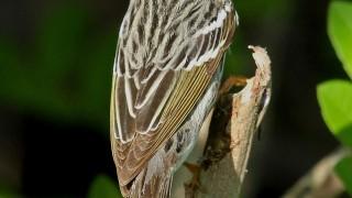 Blackpoll-Warbler1
