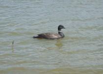 Brant-Goose-1