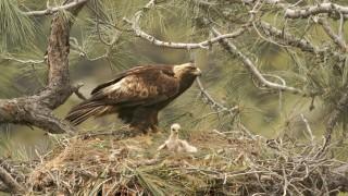 Golden Eagles ©2006 Mark Schmitt