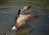 GooseWings3