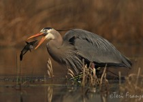 Great_Blue_Heron_Catfish