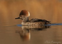 Hooded_Merganser_Hen