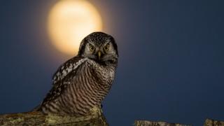Northern Hawk Owl ©2014 Terry Crayne