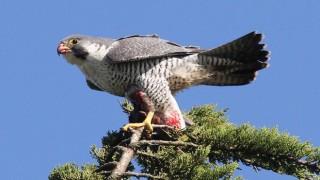 Peregrine Falcon at Doran Regional Park, Bodega Bay, California, by Ron Storey.
