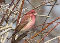 Purple-Finch-DHBO
