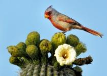 Pyrrhuloxia-on-Saguaro-Cactus