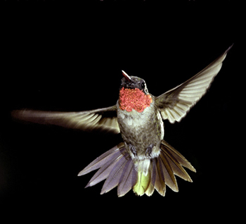 Ruby-throated-Hummingbird-1-by-Bill-Stripling-350