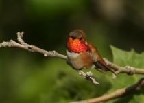 RufousHummingbird_MG_0151-post