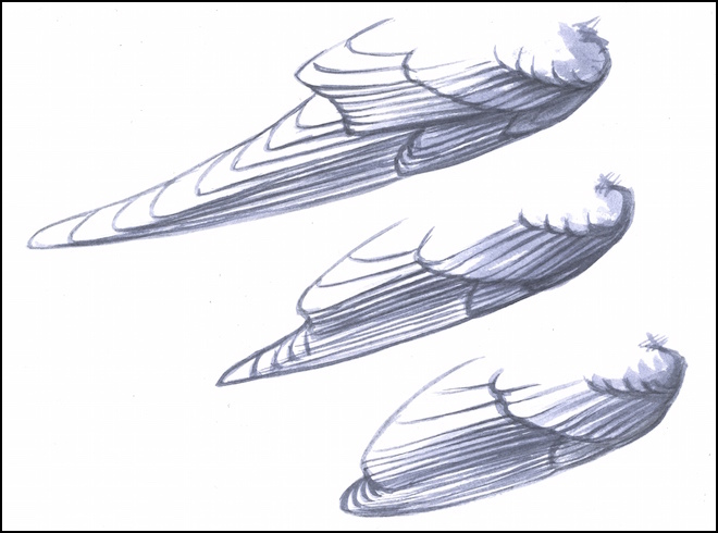 Secondary feathers stack up on primary feathers on the folded wings of all birds, including Barn Swallow (top), American Goldfinch (center), and House Wren (bottom). The lengths of the flight feathers differ dramatically from species to species, but the structure of each wing is the same. Artwork by David Allen Sibley.
