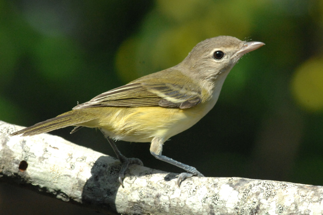 Bell's Vireo, added to yard list in August 2004. Photo by Jim Stevenson