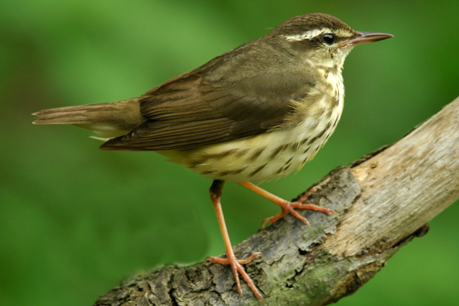 Louisiana Waterthrush, added to yard list in March 1998. Photo by Jim Stevenson