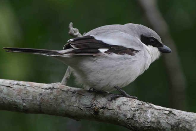 Loggerhead Shrike, added to yard list in September 1997. Photo by Jim Stevenson